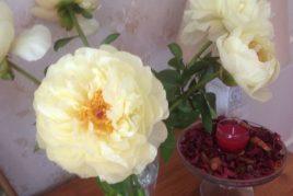 Pioenroos 'Lemon Chiffon'